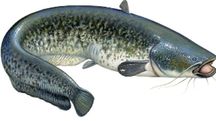 riba-som-zemunska-bucka