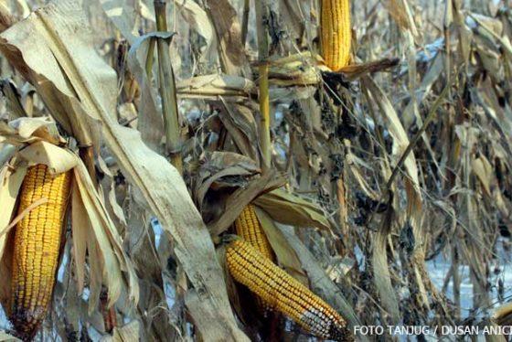 neobran-kukuruz-zima