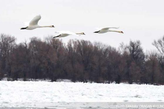 zima-dunav-led-ptice